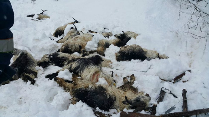 Trabzon'da ahırın çatısı çöktü, 124 küçükbüş hayvan telef oldu
