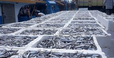 400 bin ton hamsi avlandı