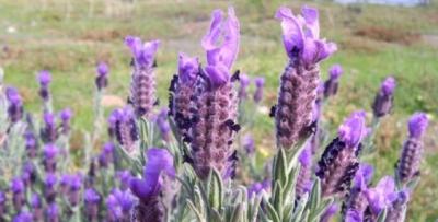 Karadeniz'de tıbbi ve aromatik bitkiler gelir kapısı olacak