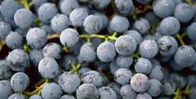 Unutulan meyveler yeniden üretilecek
